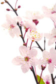 Pink cherry blossom (sakura flowers), isolated on white — Stock Photo