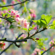 spring blossom: branch of a blossoming apple tree on garden back — Stock Photo