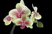 Amarelo e roxo fundo preto isolado na orquídea — Fotografia Stock