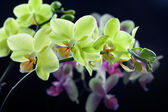 Beautiful yellow and purple orchid flowers isolated on black bac — Stock Photo