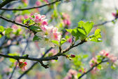 Spring blossom: branch of a blossoming apple tree on garden back — ストック写真