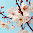 Cherry blossom (sakura flowers), isolated on blue, closeup shot — Stock Photo #9599153