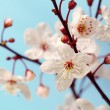 Cherry blossom (sakura flowers), isolated on blue, closeup shot - Stock Photo