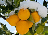 Lemon three under the snow — Stock Photo
