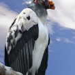 King Vulture - Sarcoramphus papa — Stock Photo