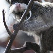 Emperor tamarin — Photo