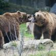 Brown bears fighting — Stock Photo