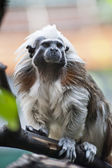 Cotton-top tamarin — Stock Photo