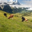 Cows in Alps, Switzerland — Stock Photo #9514487