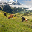 Stock Photo: Cows in Alps, Switzerland