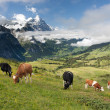 Cows in Alps, Switzerland — Stock Photo #9514493