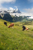 Cows in Alps, Switzerland — Foto Stock