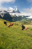 Vacas em alpes, suíça — Foto Stock