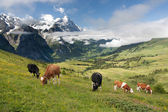 Kühe in alpen, schweiz — Stockfoto