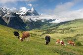 Koeien in de alpen, zwitserland — Stockfoto