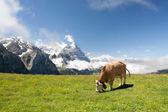 Mucca al pascolo nelle alpi — Foto Stock
