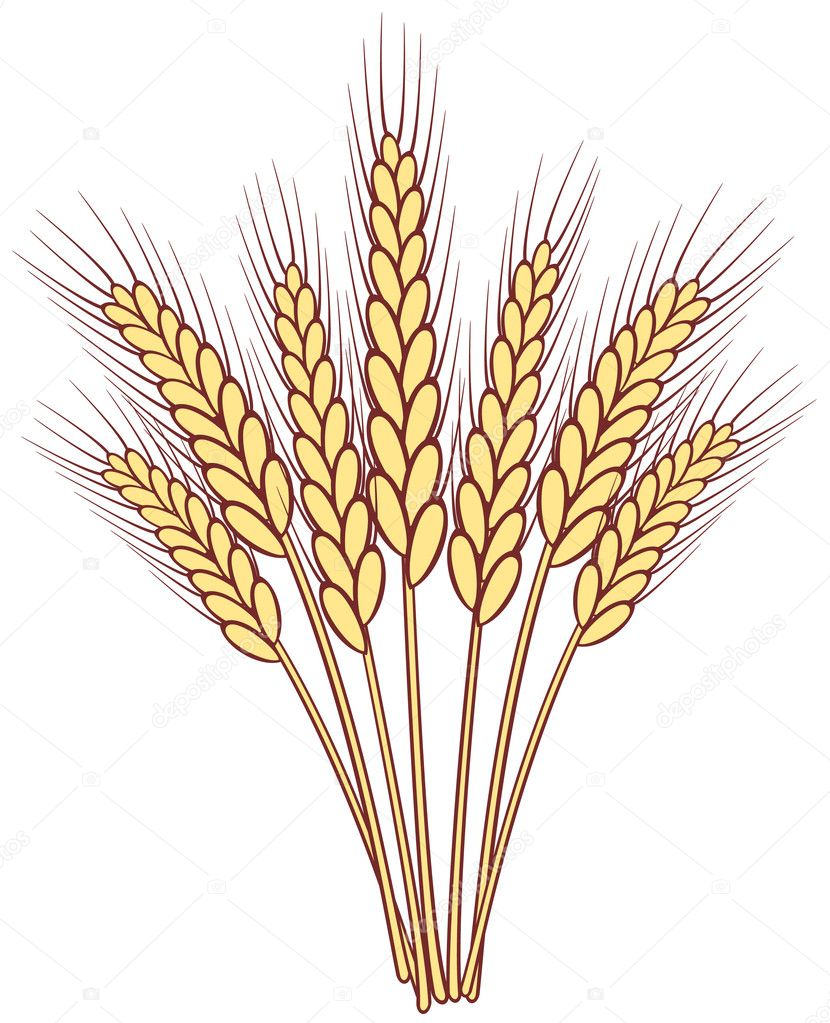 Bunch of vector wheat ears  Stock Vector #10551661