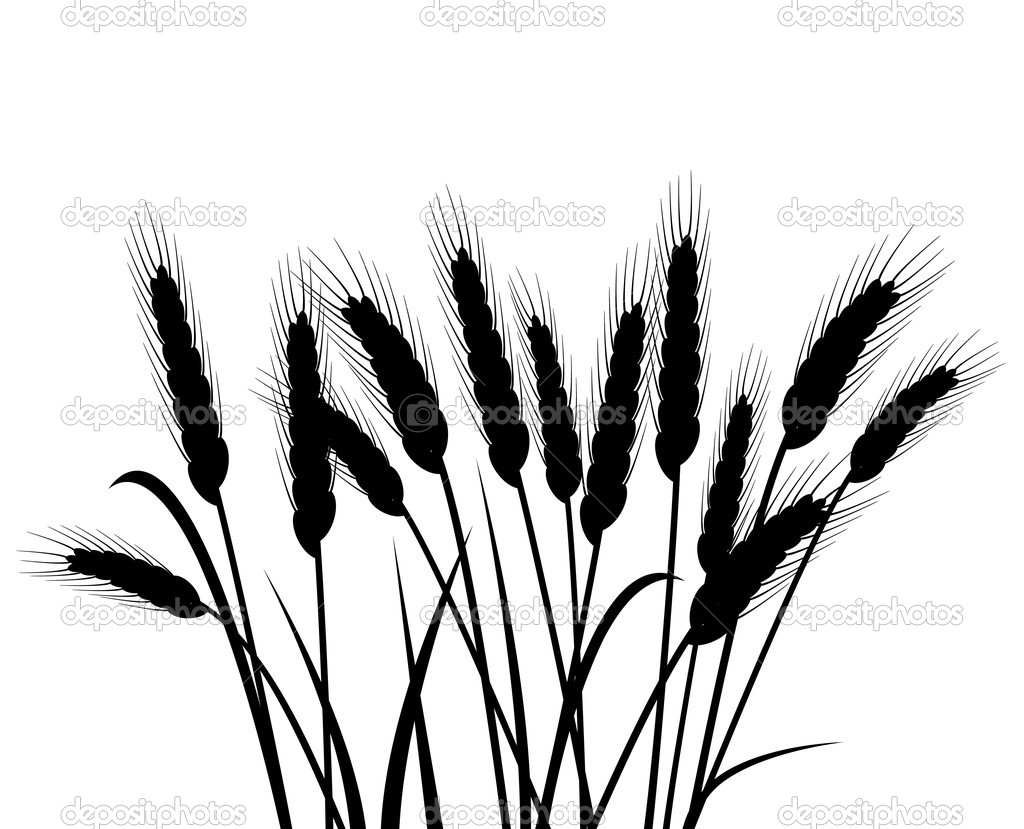 Bunch of vector wheat ears  Stock Vector #10584644