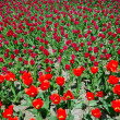 Field of tulips — Stock Photo #10475130