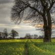 Rapeseed field contryside landscape at sunset with dramatic sky - Stock fotografie
