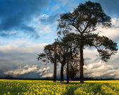 Rapeseed field countryside landscape at sunset with dramatic sky — Stock Photo