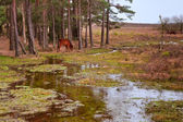 Wild pony on edge of forest and flooded swamp land in Winter — Stock Photo