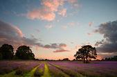 Lavanta alanın üzerinde güzel canlı renkli yaz sunest — Stok fotoğraf