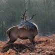 Red deer stag portrait in Autumn Fall Winter forest landscape - Foto Stock