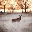 Red deer stag watches sunrise on frosty Winter morning — Stock Photo