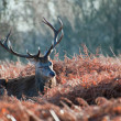 Red deer stag portrait in Autumn Fall Winter forest landscape - Stock fotografie