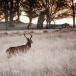 Red deer stag looks into rising sun on frosty Winter landscape — Stock Photo