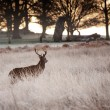 Red deer stag looks into rising sun on frosty Winter landscape — Stock Photo #8825780