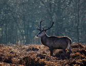 Red deer stag portrait in Autumn Fall Winter forest landscape — Stock Photo