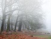 Fallow deer in foggy Winter forest landscape — Stock Photo