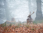 Fallow deer in foggy Winter forest landscape — Stock Photo