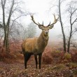 Red deer stag in foggy misty Autumn forest landscape at dawn — Stockfoto