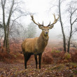 Red deer stag in foggy misty Autumn forest landscape at dawn — ストック写真