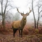 red deer hert in mistige mistige herfst boslandschap bij dageraad — Stockfoto