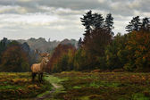 Red deer in Autumn Fall forest landscape — Stock Photo