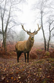 Red deer stag in foggy misty Autumn forest landscape at dawn — Stock Photo