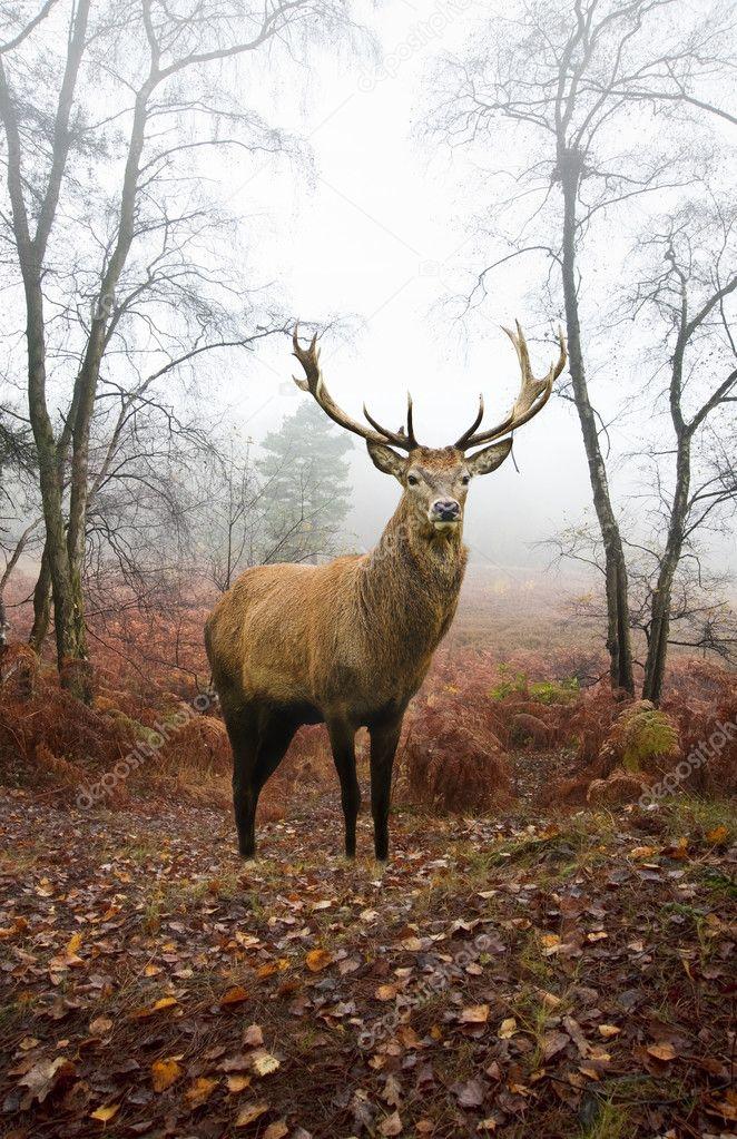 Фотообои Red deer stag in foggy misty Autumn forest landscape at dawn