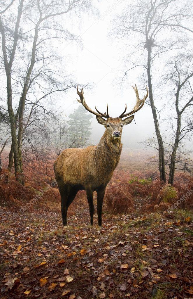 Фотообои Олень олень в туманный туманный Осенний лесной пейзаж на рассвете