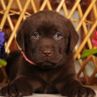 One and a half month puppy lie on the chair — ストック写真
