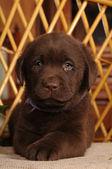 Portret van bruine labrador puppy — Stockfoto