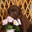 Cute little puppy portrait with flower - Photo