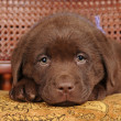 Cute little puppy of labrador retriever portrait — Stock Photo #8169852