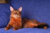Full body portrait of beautiful somali cat — Stock Photo