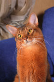 Cute somali cat portrait — Stock Photo