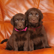 Portrait of two cute labrador puppies — Stock Photo