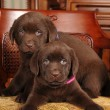 Portrait of two cute labrador puppies on the chair — Stock Photo